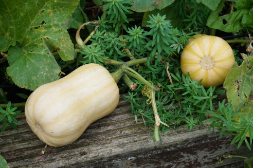 Butternut squash patch